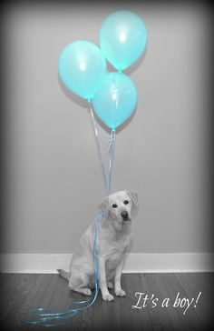 Baby announcement. Baby announcement dog. Gender reveal. Gender reveal dog.