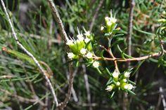 Homoranthus Virgatus .Tanglewood track Native Plants, Nativity, National Parks, Track, Runway, The Nativity, Truck, Running, Track And Field