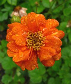 Geum 'Prince of Orange'