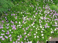 Chinese violet, Asystasia gangetica  (Scrophulariales: Acanthaceae) - 5420530
