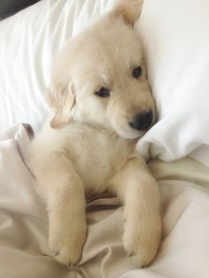 #animals #dog #golden retriever