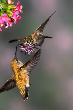 Calliope hummingbirds are the smallest birds in North America (Photo: Dan Tracy for Hummingbirds at Home).