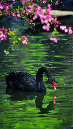 Black Swan - by 学徒