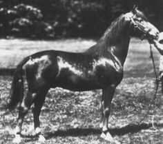 Reg. No.: 7475 MONTEREY   Sire: 7255 MANSFIELD Dam: 04329 SCOTANNA  Sex: Stallion Color: Chestnut Foaled: 06-10-1925  Totals By Color: B: 21  Bl: 4  Br: 4  Ch: 51  Pal: 1  Totals By Sex: Stallions: 37  Mares: 45  Geldings: 1 Total Progeny: 83  Chestnut, snip, rh ankle white, 16h, 1300 lbs. Foaled 6/10/1925, Hartford, CT.  Stood at US Remount Station, Ft. Keogh, Miles City, MT, 1929-1935.  Transferred to the US Forest Service, 1936.