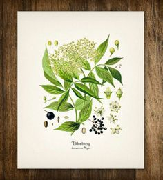 Yellow & Black Elderberries Vintage Botanical Print | $18