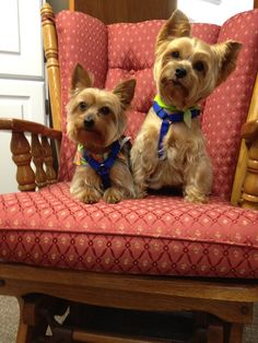 My sweet Yorkies ---Buddy and Lexi