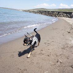 連休3日目は春と楓初めての海🌴⛱🐠💕に行って来たよ~✨😆でも予報よりも暑くて砂浜も熱くなってたから全然海んぽできなくて📷✨も撮れなくて残念でした💦😵 また涼しい時に行きたいな✨ * #海 #海んぽ #初めての海 #春と楓 #チワワ  #多頭飼い #チワワ多頭飼い #犬好き #愛犬  #ちわわせ 💝#いぬすたぐらむ #犬バカ  #かわいい #癒し #癒しわんこ  #ミラーレス一眼 #カメラ女子 #カメラ初心者  #all_dog_japan #east_dog_japan  #ig_japan #ig_myshot #dog #dogstagram #instadog #chihuahua #chihuahualove  #ちわわなしでは生きていけません会  #写真好きな人と繋がりたい  #写真撮ってる人と繋がりたい