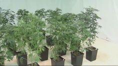 Group pushes recreational marijuana amendment   News  - Home