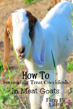 Coccidiosis can run rampant through any meat goat herd. Learn some successful coccidiosis treatment and prevention tips here to take control of outbreaks. Keeping Goats, Raising Goats, Raising Chickens, Goat Pen, Mini Cows, Goat Care, Goat Farming, Live Fit, Baby Goats