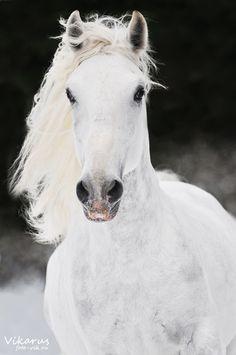 White Lipizzan horse  by ~Vikarus  Photography / Animals, Plants & Nature / Domesticated Animals  Conversano Drava I, Lipizzan stallion