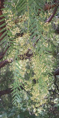 Brazilian Pepper Tree is excellent for fungal cleansing!