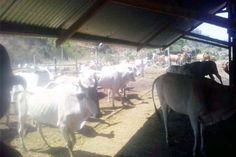 24 Desain Konstruksi Kandang Sapi Sederhana Pilihan | Ndik Home Cow Shed Design, Goats, Horses, Animals, Dan, Animales, Animaux, Animal, Animais