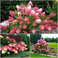 Strawberry Hydrangeas