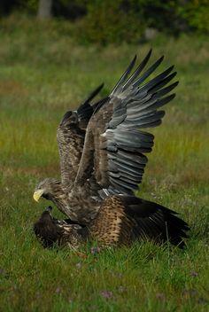 Seeadler im Kampf, Masuren
