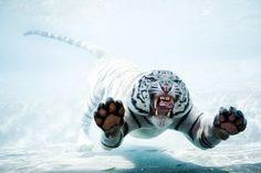 Tigre3 - Fotos chulas - enfemenino.com
