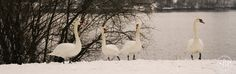 Swans in the snow