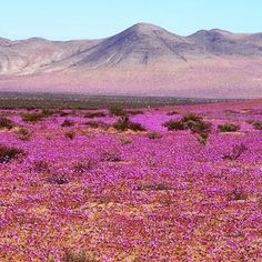 "From ""PHOTOS: Flowers bloom in the Atacama desert"" story by The Weather Network on Storify — https://storify.com/weathernetwork/photos-flowers-bloom-in-the-atacama-desert"