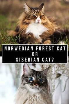 Norwegian Forest Cat vs Siberian Cat - Which To Bring Home? Pedigree Cats, Getting A Kitten, Siberian Cat, Norwegian Forest Cat, Cat Breeds, Cats And Kittens, Cute Cats, Fun, Advice
