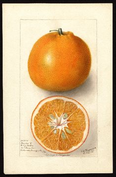"""Artist: Passmore, Deborah Griscom, 1840-1911 Scientific name: Citrus sinensis Common name: oranges Variety: Thornton No. 5 """"U.S. Department of Agriculture Pomological Watercolor Collection. Rare and Special Collections, National Agricultural Library, Beltsville, MD 20705"""""""