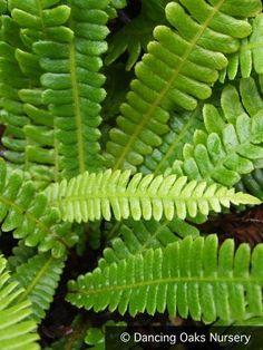 plants for winter garden Deer Fern, Townhouse Garden, Yucca, Terrarium Plants, Palmiers, Orchid Care, Foliage Plants, Cactus, Winter Garden