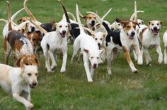 American Fox Hound dog photo | American Foxhound History and Health Temperament & Personality ...
