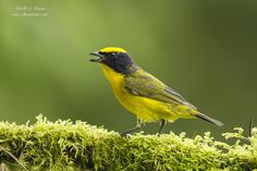 Thick-billed Euphonia by J. Uriarte on 500px