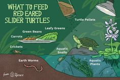 Learn what red eared slider turtles like to eat, how much to feed, and more on f. - Learn what red eared slider turtles like to eat, how much to feed, and more on feeding turtles. Aquatic Turtle Habitat, Aquatic Turtle Tank, Turtle Aquarium, Aquatic Turtles, Turtle Pond, Turtle Life, Aquarium Fish, Red Eared Slider Tank, Baby Red Eared Slider