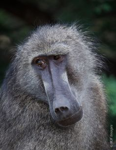this guy am i right baboon