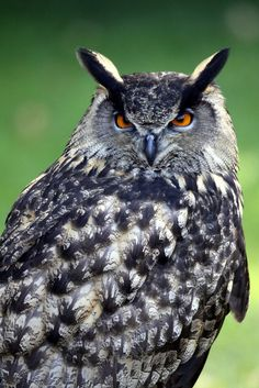 Great Horned Owl by Parasaran Raman on 500px