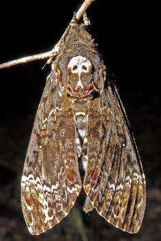 Death-head moth by kwokwai76, via Flickr