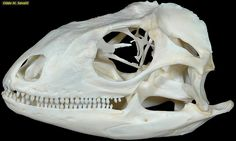 Green Iguana skull plain