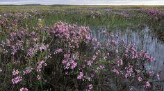 Pohjois-Suomen kukkivat suot ihastuttavat ulkomaalaisia - Metsälehti