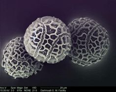 Passion fruit's pollen grains .Taken by Louisa Howard - Inspiration of the day: - Dartmouth College EM Facility