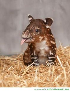 Tapir- favorite animal!