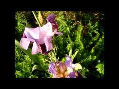 Ƹ̵̡Ӝ̵̨̄ƷBeautiful purple bearded iris flowers and a butterfly in the go...