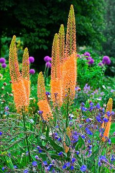 Foxtail Lily (Eremurus stenophyllus) has striking spires covered with hundreds of dark-yellow, bell-shaped flowers that shoot up over grayish-green leaves in early summer. 'Cleopatra' (shown) naturalizes with burnt-orange petals marked with red ribs. It grows up to 5 feet tall and 2 feet wide in Zones 5–9.