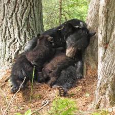 Sleepy mama bear Jewel naps while nursing Herbie and Fern