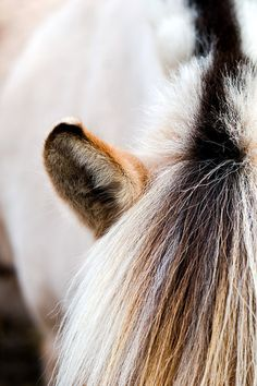 Fjord horse mane up close and beautiful! Horse Photos, Horse Pictures, Horse Girl, Horse Love, Big Horses, All The Pretty Horses, Beautiful Horses, Fjord Horse, Horse Wallpaper