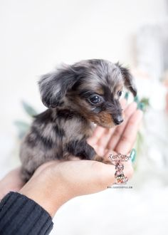 Toy Teacup Puppies For Sale silver-dapple-merle-mini-long-haired-dachshund-puppy-teacup-puppies Daschund Puppies For Sale, Dapple Dachshund Puppy, Dachshund Funny, Teacup Puppies For Sale, Mini Dachshund, Dapple Dachshund Long Haired, Daschund Puppies Long Haired, Silver Dapple Dachshund, Teacup Dachshund