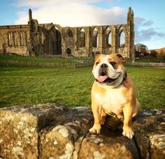 Everyone loves a visit to Bolton Abbey, captured by @elsiebearpig #DevonshireArms #DevonshireLife #BoltonAbbey #dog #doglover #bulldog #dogfriendly #hotel #travel #Yorkshire #YorkshireDales #beauty #heritage