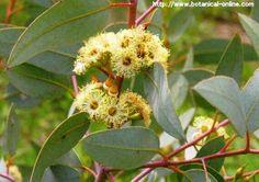 Eucalipto: es expectorante y descongestivo, ideal para bronquitis y neumonías. Baja la fiebre y alivia la garganta, en aceite alivia los dolores reumáticos