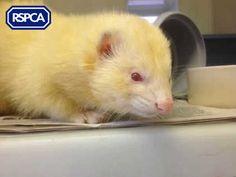 Campbell, Ferret, 1 Year, Leybourne Animal Centre Pet Search, Ferret, Sadie, 1 Year, Centre, Adoption, Best Friends, Wildlife, Pets