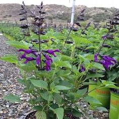Salvia 'Amistad' PP23,578atSan Marcos Growers; cool full sun to part shade (protect from hot afternoon sun)