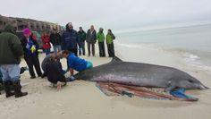 Beached Beaked Whale at Cape San Blas Jan. 2014.