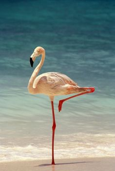 'Elegant' - photo by Suppi-lu-liuma, via deviantART;  Some scientists believe flamingos stand on one leg to help them conserve body heat by reducing their surface area as they stand in cold water.  (Although they do it in warm water, too, so scientists are not positive why they stand on one leg.)  - info from Wikipedia
