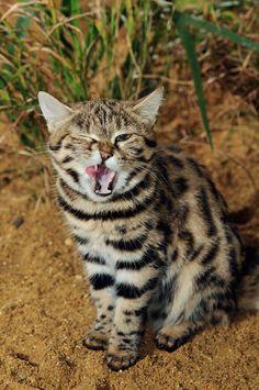 Big Cat Wild Cat