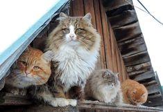 Прайд сибирских кошек