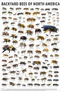 (do something like this for UK?) The backyard bees of North America poster displays over 130 different bee species, each pictured at their actual size and group. Bee Identification, Different Bees, Mason Bees, Raising Bees, Poster Display, Backyard Beekeeping, Bees And Wasps, Bee Friendly, Bee Art