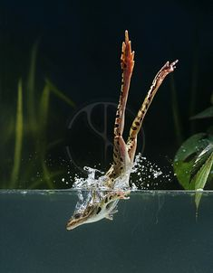 Stephen Dalton, Animal Photographer Leopard Frog diving