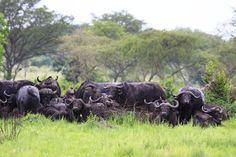 African buffalo, Queen Elizabeth National Park, Uganda